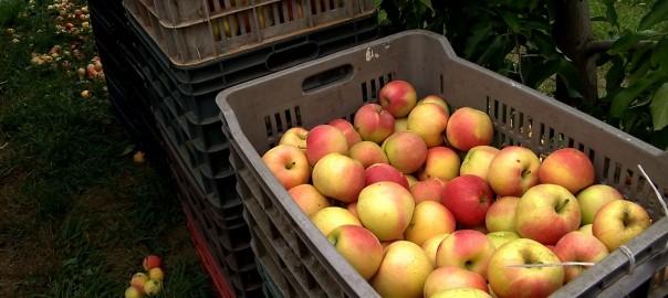 2015.09.09. elkezdodott az almaszuret
