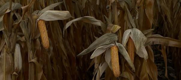 2015.10.06. keves kukorica termett