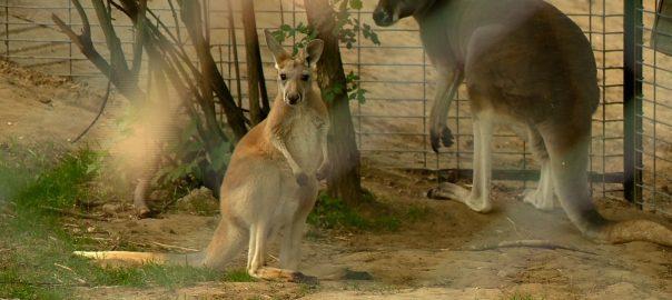 2016.04.20. felnott a kengurubebi