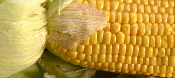 2017.08.03. kukorica