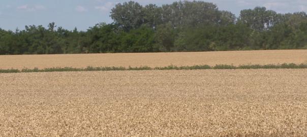 A szokásosnál korábban indult az idei betakarítás a földeken, a tavaszi szélsőséges időjárás nagyban befolyásolta mind a gabonafélék érését, mind pedig a földmunkák elvégzését.