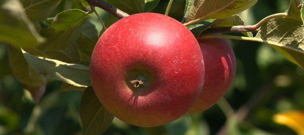 A szabolcsi almatermesztők megegyeztek az osztrák céggel, nettó 20 forintot kapnak egy kiló léalmáért.