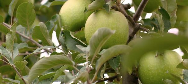 A visszacsúszó ár és a hiányzó munkaerő miatt jelentős mennyiségű alma maradhat a fán, vagy csúszhat a betakarítás.