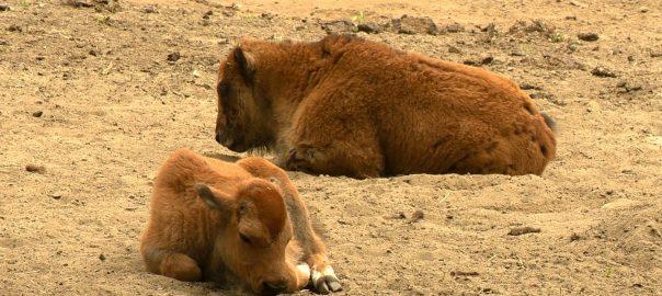 Két amerikai bölény született a Nyíregyházi Állatparkban