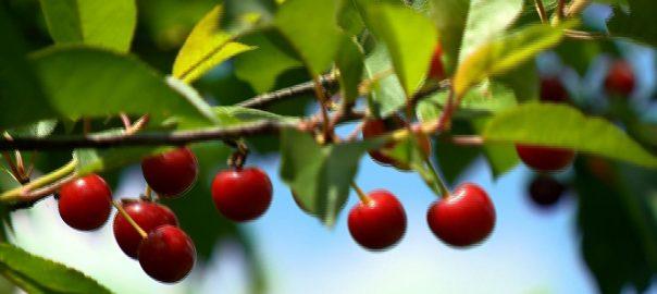 Várhatóan a tavalyi kiemelkedően magas meggytermés fele, az elmúlt évek átlagánál szintén jóval kevesebb gyümölcs lesz leszüretelhető Szabolcs-Szatmár-Bereg megyében.
