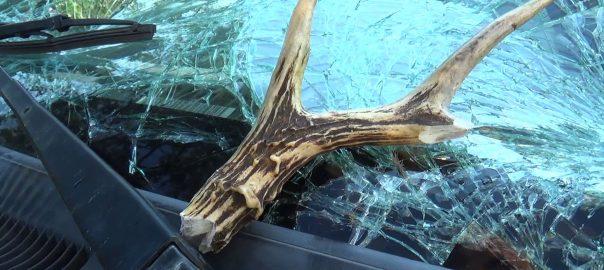 Fontos dolog miatt adott ki figyelmeztetést a rendőrség: az őzek párzási időszakában az állatok váratlanul, szinte bárhol megjelenhetnek az utak mentén.