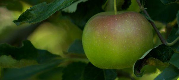 7,6 milliárd forintból komplex almatároló és csomagoló hűtőház épül Újfehértón.