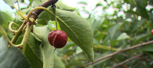 Rengeteg gyümölcsben tettek kárt a viharok