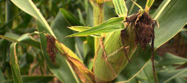 Akár rekordmennyiségű kukoricát is betakaríthatnak idén a gazdák