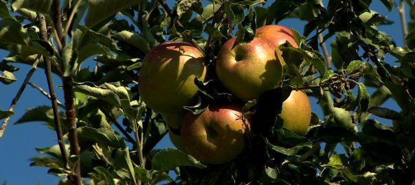 Nem indult jól az almaszezon