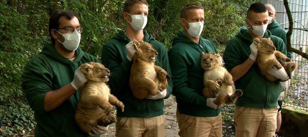 Oroszlán négyesikrek születtek a Nyíregyházi Állatparkban.