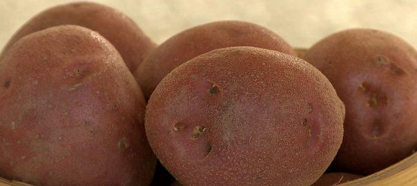 A hazai burgonyát népszerűsítik a 31. gyulatanyai burgonyabemutatón
