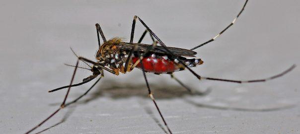 Magyarországon is megjelentek a trópusi betegségeket terjesztő szúnyogok