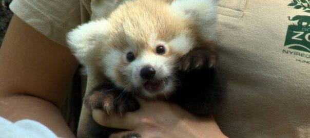 Vörös macskamedve született a Nyíregyházi Állatparkban