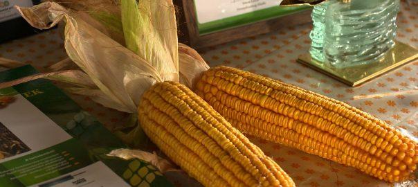Több, mint 40 kukoricafajtát lehetett megismerni Gyulatanyán