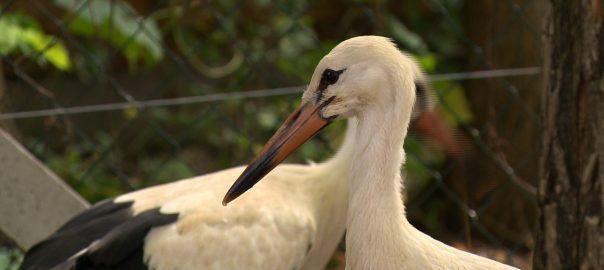 Két elárvult gólya talált megmentőre Nyíregyházán