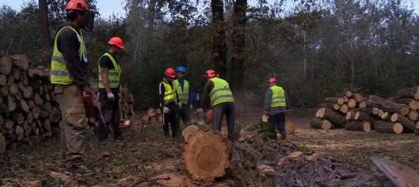 Tölgyeket és akácfákat vágnak ki a Sóstói Erdőben